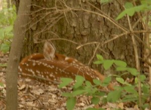 See the Fawn?