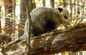 See the Possum?