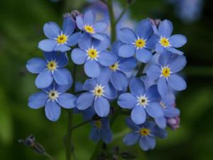 Forget-Me-Not-flower-blue (2)