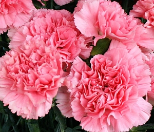 pink-carnations-from-Mischlers-in-Amherst-NY