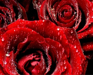 red_roses_6-normal5_4