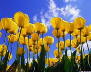 yellow-tulips-in-sky