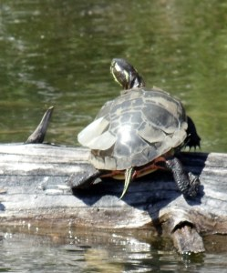 turtle in Grass River telling you about an upcoming left-hand bend in the water.